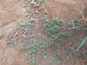 Bunga Krokot Obat Herbal Untuk Jantung dan Maag
